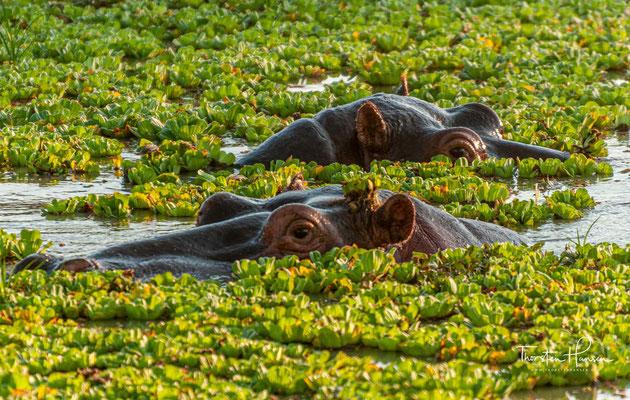 ...sowie große Herden von Elefanten und Büffeln, die häufig mehrere hundert Tiere zählen.