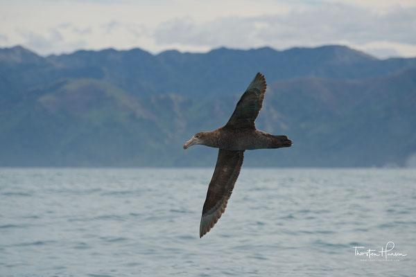 """Er gehört zur Familie der Sturmvögel. Eine weitere Bezeichnung ist Südlicher Riesensturmvogel. Von Seeleuten werden die Vögel – ebenso wie die Hallsturmvögel – """"Stinker"""" genannt, da sie einen streng riechenden ölhaltigen Mageninhalt erbrechen, wenn sie si"""