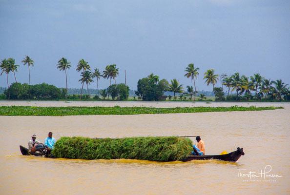 n den meisten Gegenden, wie in der fruchtbaren Kuttanad-Niederung, wird auch Reis angebaut, der nur in Süßwasser gedeiht.