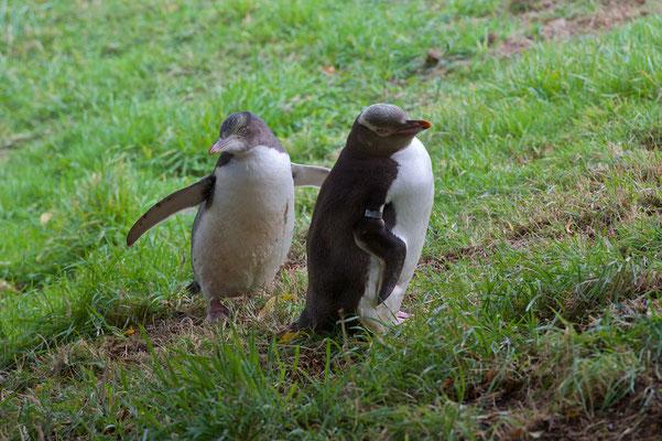 Gelbaugenpinguine sind eine endemische Art der Avifauna Neuseelands. Ihre Brutkolonien finden sich ausschließlich im Südosten der neuseeländischen Südinsel.