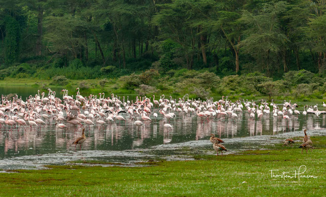 Flamingos am Lake Naivasha