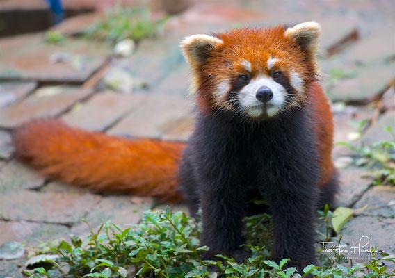 Der Kleine Panda (Ailurus fulgens), auch Roter Panda genannt