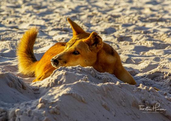Die geographische Lage macht Fraser Island zu einem der letzten Rückzugsgebiete des ursprünglichen Dingos (zumindest laut DNA-Untersuchungen aus dem Jahr 2004
