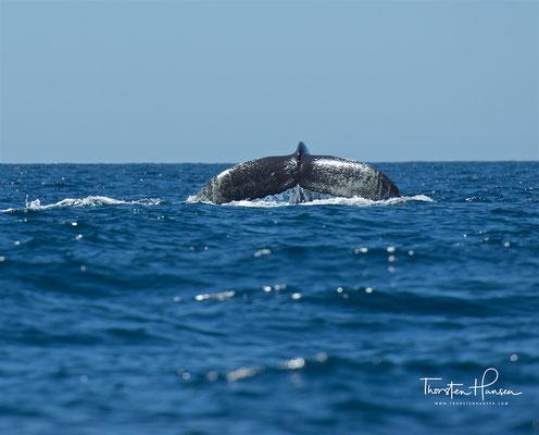 Mit einer durchschnittlichen Länge von etwa 13 Metern sind Buckelwale relativ kleine Bartenwale, sie erreichen höchstens 18 Meter Länge.