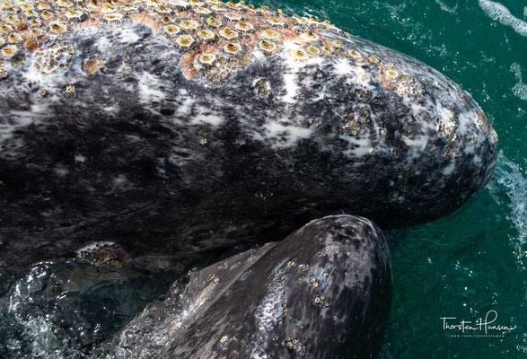 Ein unvergessliches Erlebnis auf der Baja California ist die Beobachtung der Grauwale (ballena gris).
