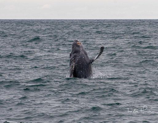 Durch die intensive Bejagung gingen die weltweiten Bestände zeitweise bedrohlich zurück. Seit 1966 steht der Buckelwal unter weltweitem Artenschutz.