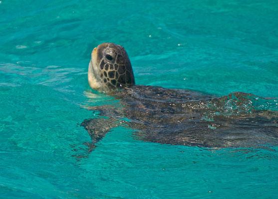 Schildkröte am Ningaloo Reef