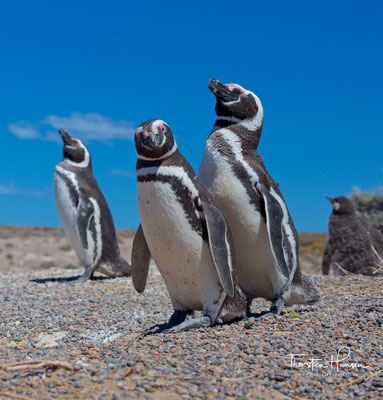 Magellan-Pinguine verstärken die Paarbindung durch gegenseitige Gefiederpflege