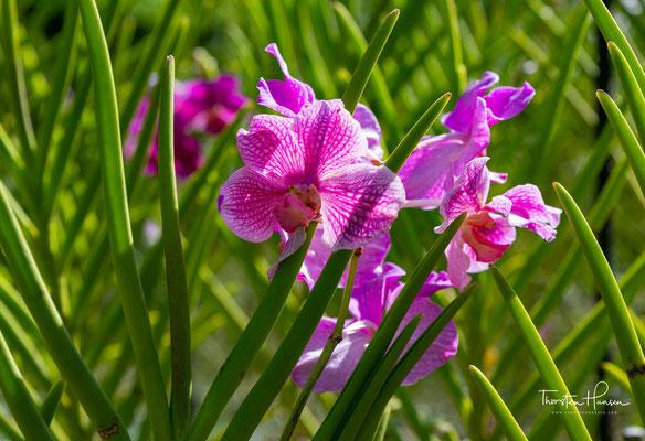 1877 wurden Gummibaumkeimlinge aus Londons Kew Gardens nach Singapur gebracht, wo sie im Botanischen Garten angepflanzt wurden.