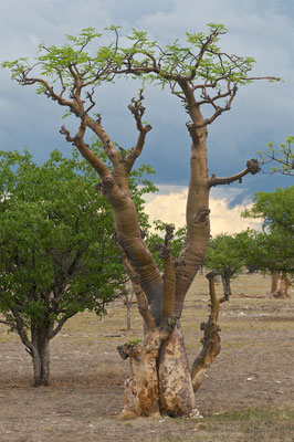 Moringabäume im Sprokieswoud