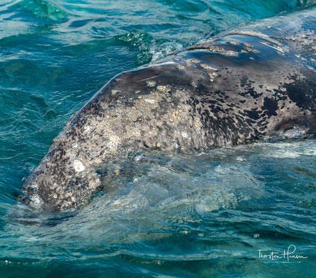 Verantwortungsbewusste Bootsführer halten genügend Abstand zu den Walen und fahren höchstens bis zu 15 m an die Meeressäuger.