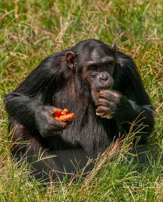 Schimpansen haben zudem eine ausgeprägte Gesichtsmimik, die der von uns Menschen sehr ähnlich ist.