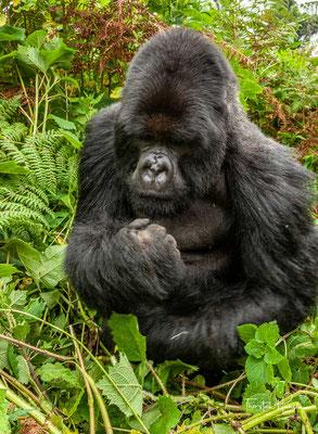 Berggorillas leben wie alle Gorillas in Gruppen, wobei die Gruppen größer sind als bei anderen Gorillapopulationen und durchschnittlich 9 bis 10