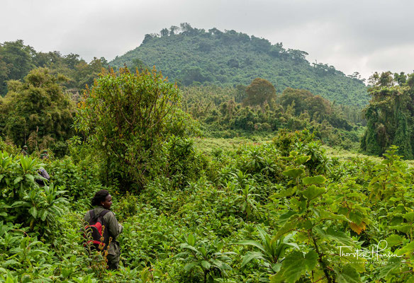 Es entstanden der Vulkan-Nationalpark in Ruanda und der Virunga-Nationalpark in der DR Kongo.
