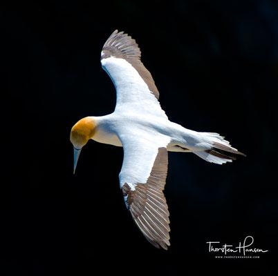 Die Flügelspanne beträgt zwischen 170 und 200 Zentimeter. Sie wiegen ausgewachsen zwischen 2 und 2,8 Kilogramm.
