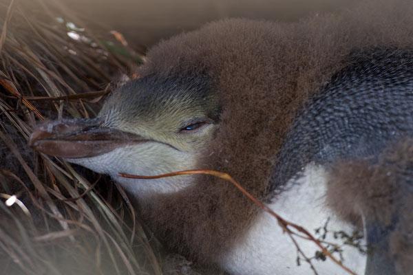 Der Kopf, die Stirn und der Scheitel sind blass goldgelb mit schwarzen Federschäften. Auf dem Scheitel dominiert schwarz, allerdings variiert der Anteil je nach Individuum stark. Die Kopfseiten, das Kinn und die Kehle sind bräunlicher. Ein blasses gelbes