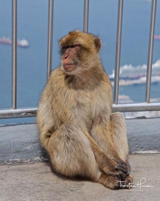 Berberaffe auf dem Felsen von Gibraltar