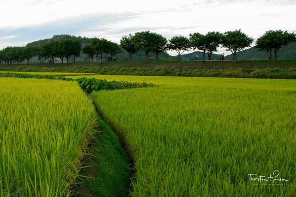 Reisfelder in der Umgebung des Hahoe Folk Village
