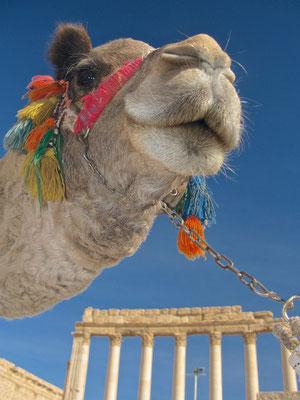 Kamel vor dem Baaltempel in Palmyra