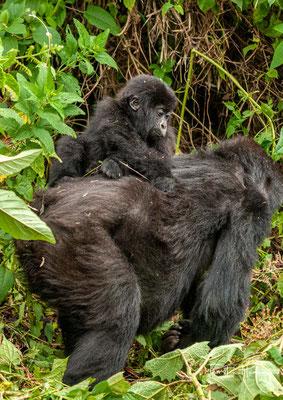 """Berggorillas zählen zu den am meisten bedrohten Säugetieren der Welt und werden auf der Roten Liste der IUCN als """"vom Aussterben bedroht"""" geführt."""