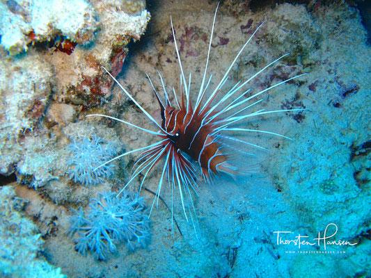 Lion Fish Eel Garden