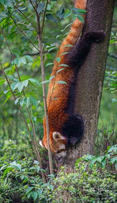 Die südliche Grenze ihrer Verbreitung liegt im Westen von Yunnan, die östliche im Westen von Sichuan.