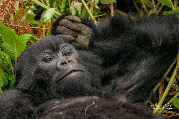 Von allen Gorillas stellt er die am ausgeprägtesten auf dem Boden lebende und sich am meisten von Blättern ernährende Population dar