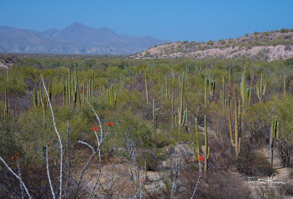 Kakteen, Baja California