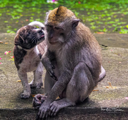 Neben den viele tollen Bäumen und Skulpturen gibt es vor allem Affen. 600 bis 700 Javaneraffe leben in dem Tempelbezirk