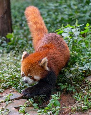 Der Kleine Panda (Ailurus fulgens), auch Roter Panda, Katzenbär, Bärenkatze, Feuerfuchs oder Goldhund genannt, ist ein Säugetier, ....