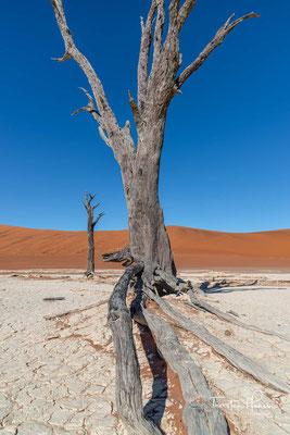 Im Südwesterlied wird der Kameldorn als Charakterpflanze Namibias (früher Deutsch-Südwestafrika) besungen und steht für die widrigen Lebensumstände des dortigen Naturraums