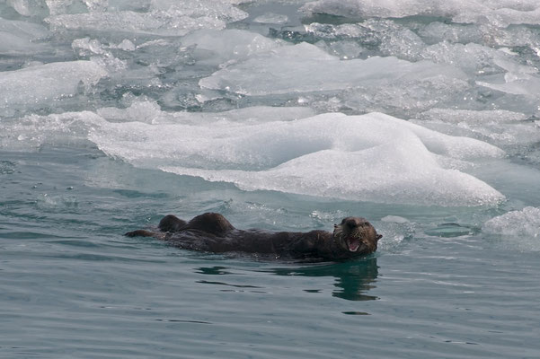 Otter im Prince William Sound in Alaska