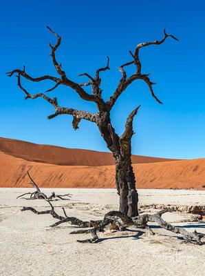 Der Kameldorn kommt mit Niederschlagsmengen von 40 bis 900 mm/Jahr und Tagestemperaturen von unter 15 °C bis 45 °C zurecht.