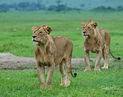 Löwen im Ngorongoro-Krater