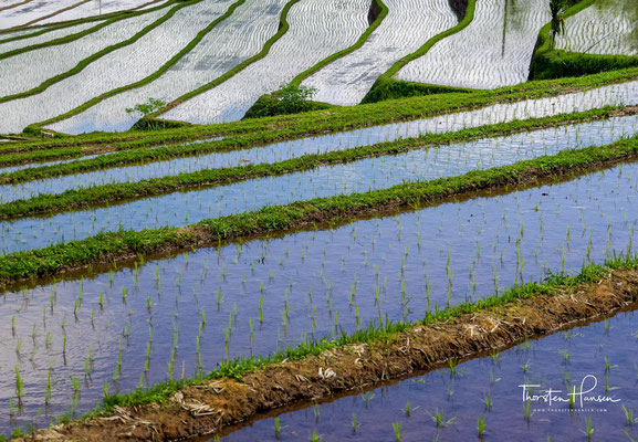 Meter für Meter der in rund 700 Metern Höhe gelegenen Reisfelder wurde in schweißtreibender Arbeit angelegt. Dafür mussten einst der Boden aufgeklopft, Kanäle und Schleusen für das ausgefeilte Bewässerungssystem durch die hügelige Landschaft gezogen werde