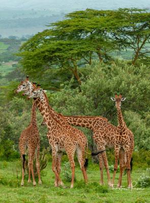 Giraffen am Lake Naivasha