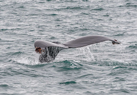 Bekannt sind die Tiere unter anderem aufgrund ihres Walgesangs und ihrer Lebhaftigkeit.
