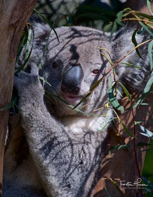 Koala im Featherdale Wildlife Park
