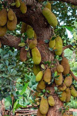 Jackfruit Bäume