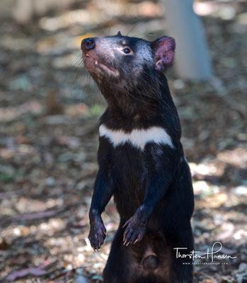 Tasmanischer Teufel im Featherdale Wildlife Park