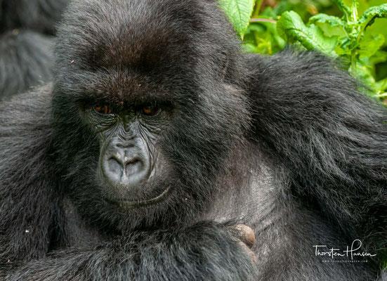 Im März 2018 verkündet Aimé Ngoi Mukena, Minister für Erdöl und Erdgas in der Demokratischen Republik Kongo, seine Absicht, den Virunga-Nationalpark um eine Fläche von 1.720,75 Quadratkilometer zu verkleinern.