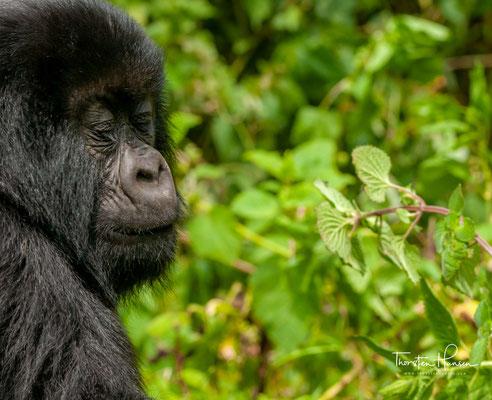 In den vergangenen Jahrzehnten ist der Lebensraum der Gorillas stark geschrumpft: Mit 770 Quadratkilometern ist er nur noch etwa so groß wie Hamburg.