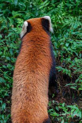 Der Kleine Panda ist das Staatstier des indischen Bundesstaats Sikkim. Er stellt auch das Maskottchen des Internationalen Teefestivals in Darjeeling dar.