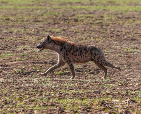 Hyäne im Südluangwa NP