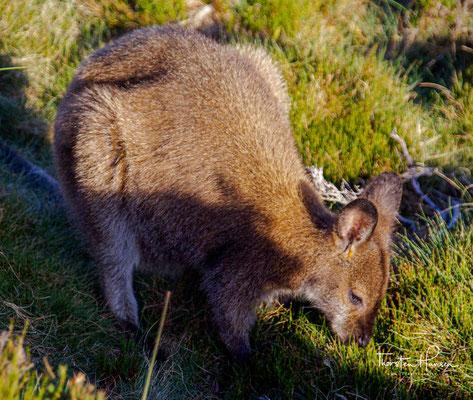 Im Nationalpark kommen allerdings der größte, noch lebende Raubbeutler, der Beutelteufel, sowie zwei geringfügig kleinere Raubbeutler, der Riesenbeutelmarder und der Tüpfelbeutelmarder vor.