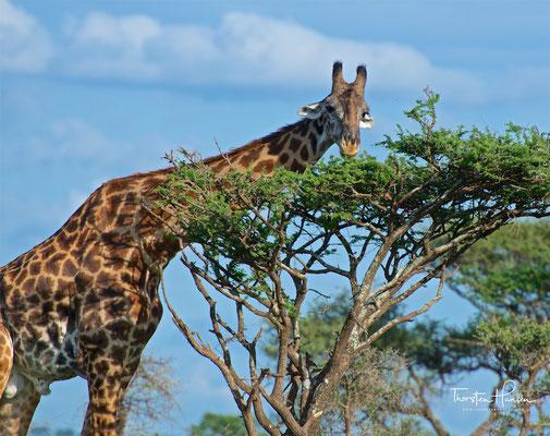 Giraffe im Serengeti National Park