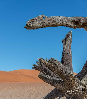 Er ist ein wichtiger Schattenspender in den Wüsten und Halbwüsten.
