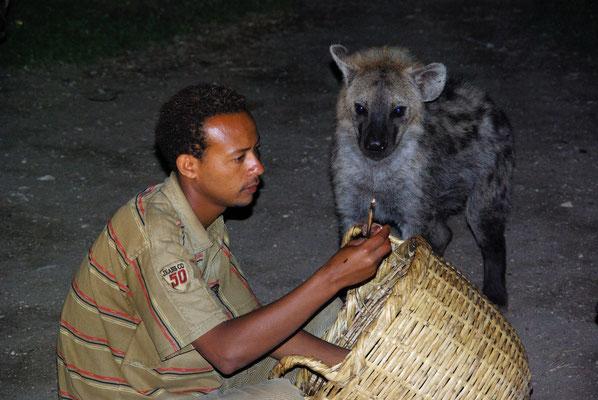Harar Hyänen Fütterung