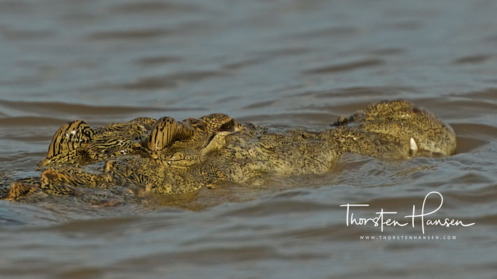Krokodil am Chamosee
