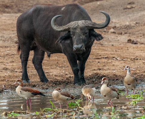 Afrikanischer Büffel im Queen-Elizabeth NP